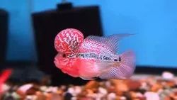 Red Srd Flowerhorn, 10-12 Years, Size: 3 Inches To 5 Inches