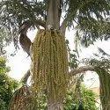 Caryota Seed