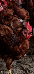 RIR breed Brown Rhode Island Red Chicken