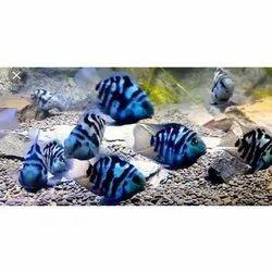 Polar Parrot Fish