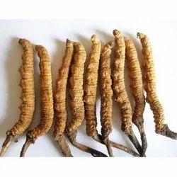 Cordyceps Sinensis Extract, Packaging Type: Jar, Packaging Size: 200 Gm