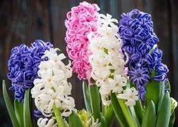 Hyacinth Hydrosol