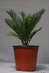 Cycus Palm