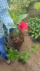 Mandara Plant