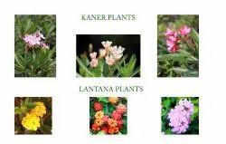 Well Watered Cascabela Thevetia Kaner Plant, For Garden