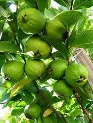 1KG Guava Plants - Bonsai Plants Nursery