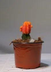 Moon Cactus Plant