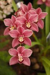 Orchid Hydrosol