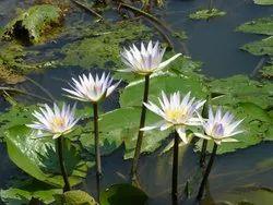 Water Lilly Hydrosol