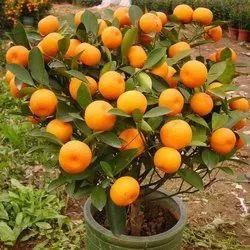 Grafted Orange Plant - Bonsai Plants Nursery