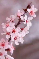 Cherry Blossom Hydrosol