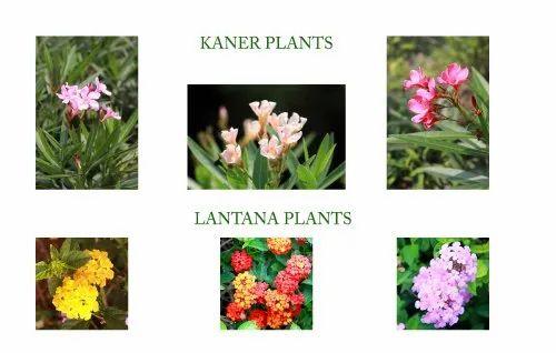 Lantana flowering plants/ Lantana camara Plants