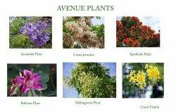 Round Full Sun Exposure Avenue Plants, For Outdoor