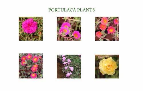 Portulaca Plants/Portulaca Oleracea Plants