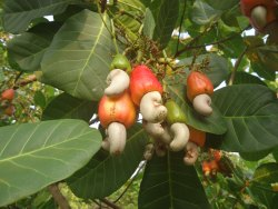 Jacvisa Agro Natural Raw Cashew Nut, Grade: W240, Packaging Size: 20 Kg