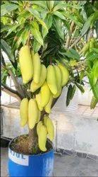 Grafted Mango Plant - Bonsai Plants Nursery