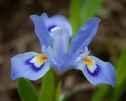Iris Hydrosol