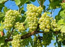Grapes Plant - Bonsai Plants Nursery