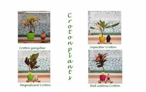 Croton Plants/Codiaeum Variegatum