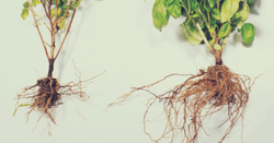 Technical Organic Compost Based Mycorrhiza Granules