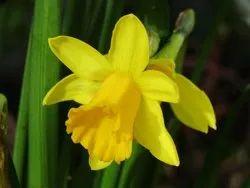 Daffodil Hydrosol
