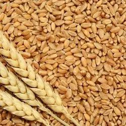 Golden 60kg Wheat