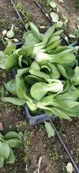A Grade Green Fresh Bok Choy, Carton, 10kg(Max)