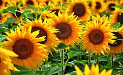 Sunflower Hydrosol