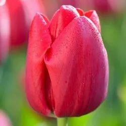 Tulip Hydrosol