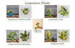Fast Growth Red Syngonium Plants/Syngonium Podophyllum Plants