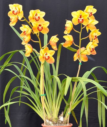Yellow Cymbidium Orchid Plant