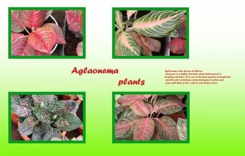 Aglaonema Commutation Plants