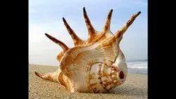 Conch Shell Shankh