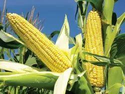 Fresh Yellow Corn, High in Protein