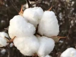 Cotton Project Report Consultancy