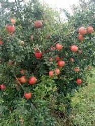 A Grade Fresh Pomegranate, 10 Kg, Carton