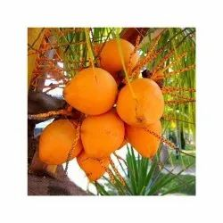 A Grade Fresh Yellow Coconut, Packaging Size: 50 Kg, Coconut Size: Medium