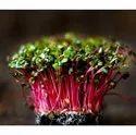 Pan India China Rose Radish Microgreens, 100 Gm, Packaging: Box
