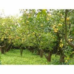 Lemon Farming Consulting Service
