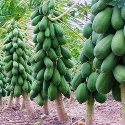 Papaya Farming Consulting Service