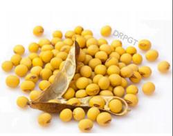Soyabean Powder