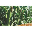 Hybrid Maize Seeds, Shakti 1209, Packaging Type: Packet, Packaging Size: 4 Kg