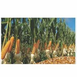 Hybrid Maize Seeds, Shakti 333, Packaging Type: Packet, Packaging Size: 4 Kg