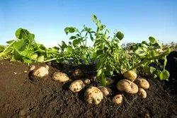 Potato Zyme