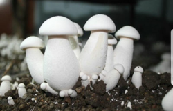 Milky White Mushroom Spawn ( Calocybe Indica)