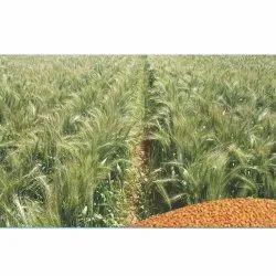 Divyashakti Natural Arjun Wheat Seeds, Packaging Type: BOPP Bag, Packaging Size: 20 Kg