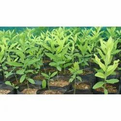 Sandalwood Farming Consulting Services
