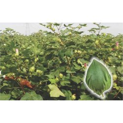 divyashakti Cotton Seed, Packaging Type: Packet, Packaging Size: 450 Gm