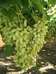 A Grade Fresh Manikchaman Grapes, Packaging Type: Carton, Packaging Size: 4 Kg