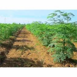 Moringa Cultivation Farming Consulting Services